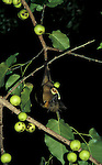 Fruit Bat, feeding on fig tree fruit, West Africa