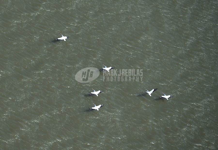 pelican bird birds migration water ocean aerial flying nature Houston Baytown Texas flock formation