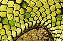 Sumatran Pitviper (Trimeresurus sumatranus), detail of scales. Danum Valley, Sabah, Borneo. June.