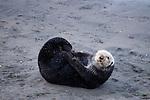 Sea Otter (Enhydra lutris) female grooming on beach, Elkhorn Slough, Monterey Bay, California