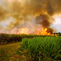 Burning off sugar cane plantation prior to harvest.  Kenya. Western District..
