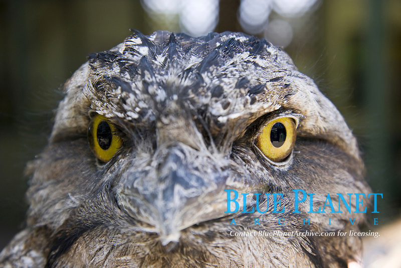 tawny frogmouth, Podargus strigoides, found in Australia and Tasmania
