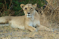 Lion with an injured eye from a previous fight.  This pose was captured in Botswana Africa,K