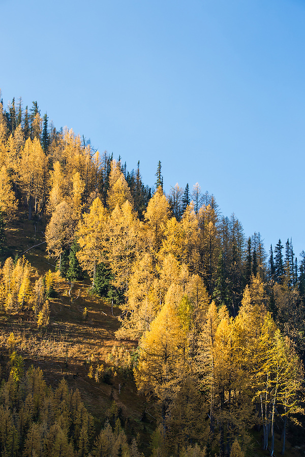 Western subalpine larch trees glow yellow on a bright sunny day with clear skies on the trail to the summit of Carne Mountain in the Central Cascade mountain range of Washington State.