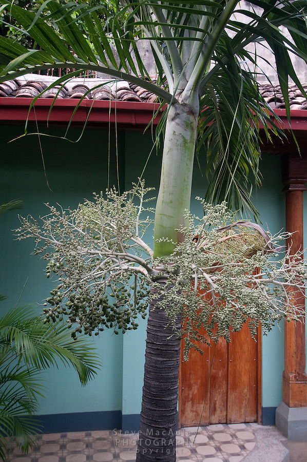 Acai Palm with Green Acai berries visible, Granada, Nicaragua