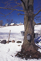 maple sugaring, Vermont, VT, Buckets on a maple tree on a farm in Rockingham in the snow in early spring.