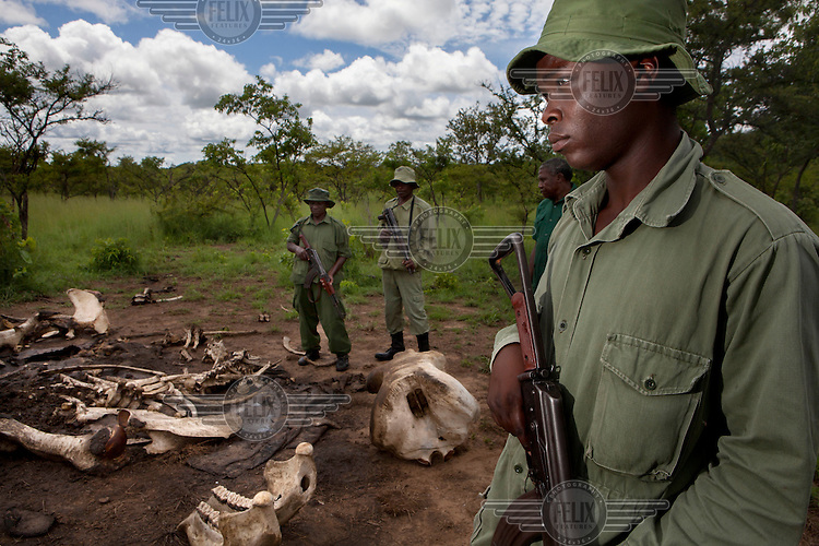 A game scout, with his patrol, arrive at a carcass of a poached Elephant in the Selous game reserve.
