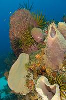Feather stars, greenish crinoid, Davidaster rubiginosa, giant barrel sponge, Xestospongia muta, azure vase sponge, Callyspongia plicifera, Martinique, French Island, Caribbean Sea, Atlantic