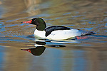 Merganser drake in spring mating season colors