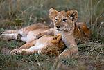 African lion cubs, Masai Mara National Reserve, Kenya