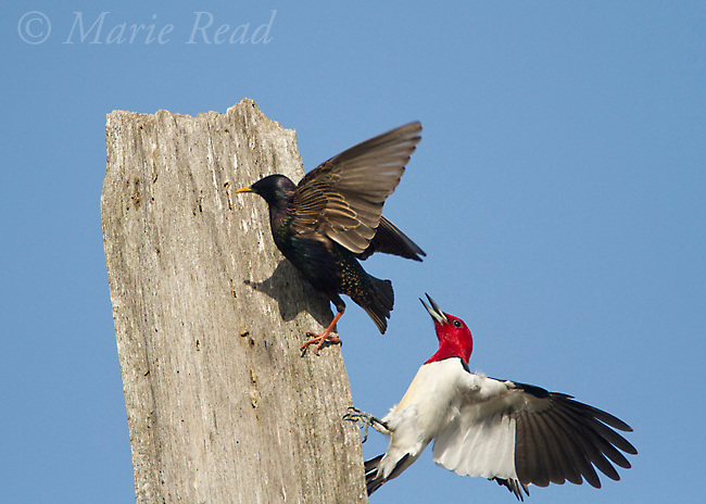 Red-headed Woodpecker (Melanerpes erythrocephalus), aggressive behavior toward European Starling (Sturnus vulgaris) which was trying to take over woodpecker's nest cavity nearby, Montezuma Wildlife Refuge, New York, USA
