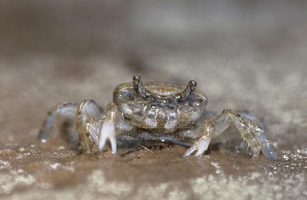Ghost Crab, Ocypode sp., adult, Rio Grande Valley, Texas, USA, June 2004