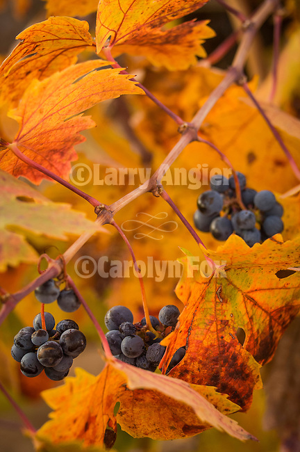 The last grape clusters as the wine grape leaves turn golden and scarlet during autumn, Shenandoah Valley, Amador Co., Calif...Karmère Winery