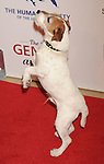 BEVERLY HILLS, CA - MARCH 24: Uggie the dog attends the 26th Genesis Awards at The Beverly Hilton Hotel on March 24, 2012 in Beverly Hills, California.