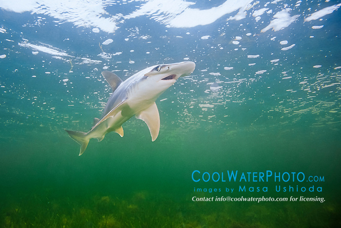 bonnethead shark, Sphyrna tiburo, Little Card Sound, Biscayne Bay, Key Largo, Florida Keys, Florida, USA, Caribbean Sea, Atlantic Ocean