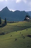 Europe/France/Auvergne/63/Puy-de-Dôme/Parc Régional des Volcans/Les Monts Dores: Vaches en paturage et Roche Sanadoire