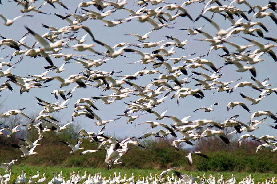 Snow Geese flying over field, Fir Island, Skagit Valley, Skagit County, Washington, USA
