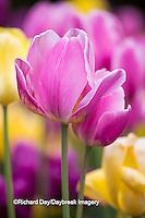 63821-22808 Yellow, pink and purple tulips, Chicago Botanic Garden, Glencoe, IL