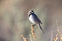 Black-throated Sparrow (Amphispiza bilineata deserticola) at the Desert National Wildlife Refuge in Las Vegas, Nevada.