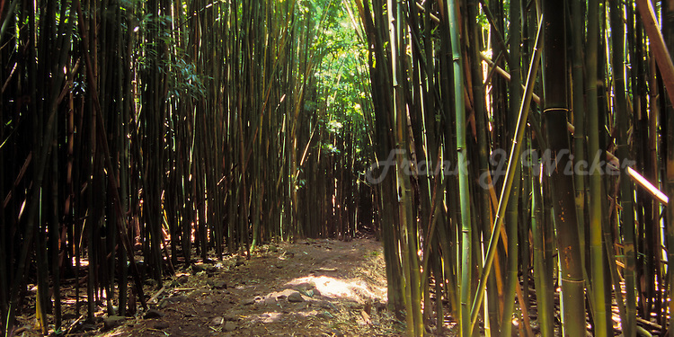 Hiking trail through the bamboo forest near the seven pools at the Kipakulu district of  HALEAKALA NATIONAL PARK on Maui in Hawaii USA