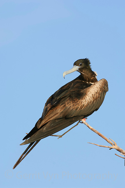 Adult female Magnificent Frigatebird (Fregata magnificens) perched at breeding colony. Dry Tortugas NP, Florida. March.