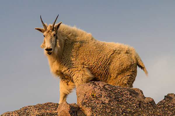 Mountain goat at sunrise, summit of Mt Evans, south of Rocky Mountain National Park.<br />
