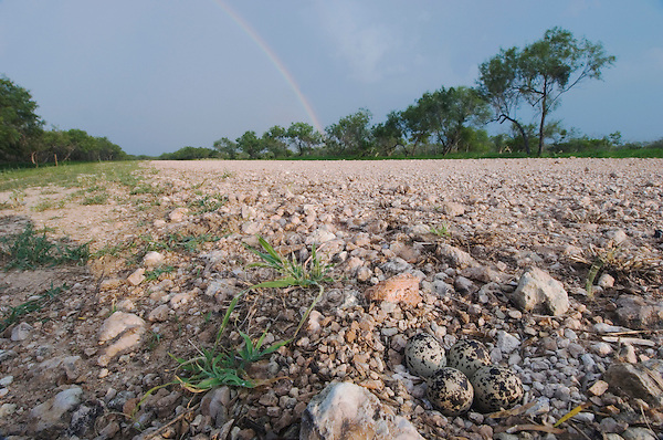 Killdeer, Charadrius vociferus,nest with eggs camouflaged next to gravel road with rainbow, Willacy County, Rio Grande Valley, Texas, USA, June 2006
