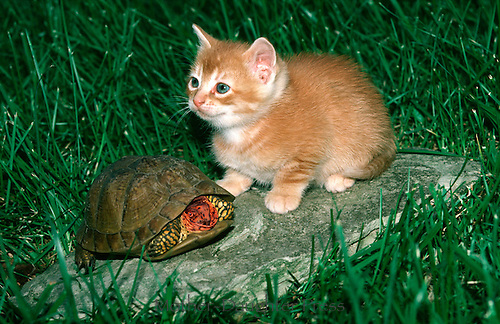 Orange tabby kitten sits with turtle on rock in yard, Missouri
