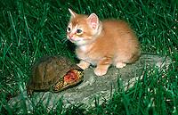 Orange tabby kitten sits with turtle on rock in yard, Missouri