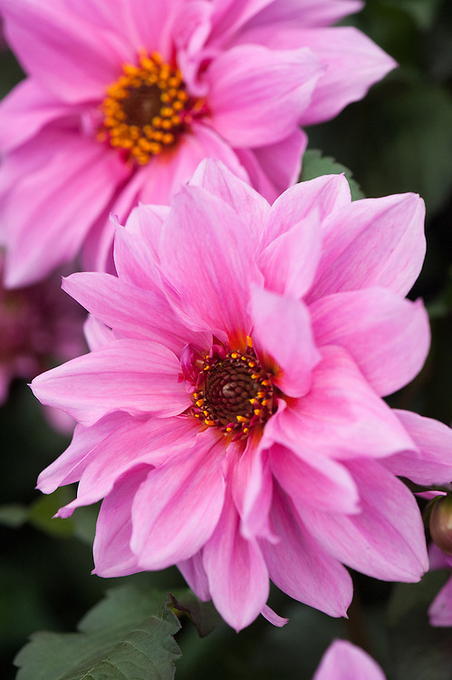 Dahlia 'Fascination', early July.