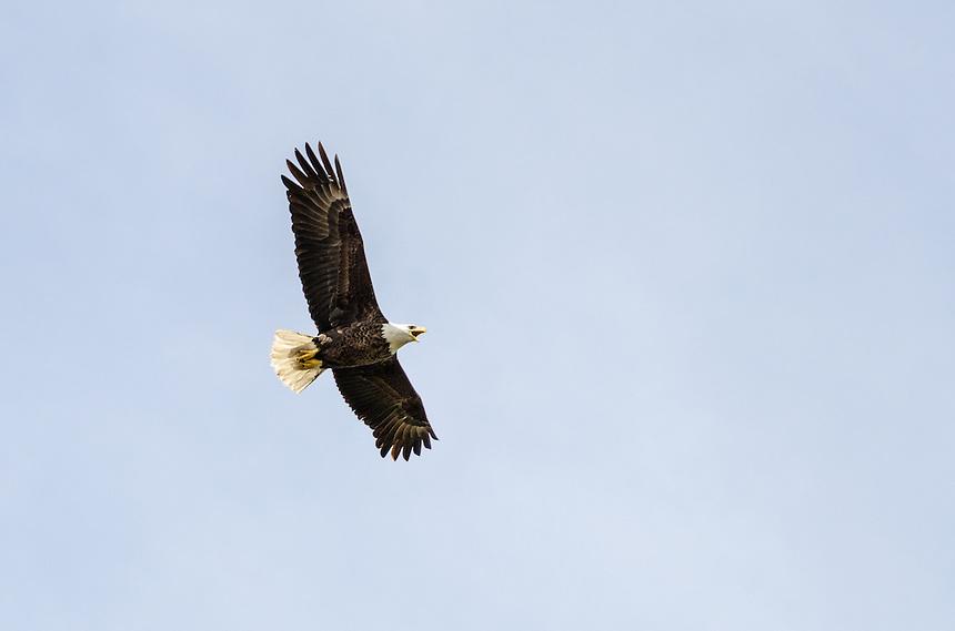A bald eagle flying overhead along the Lake Michigan shoreline. Pt. Detour, MI