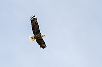A bald eagle flying overhead along the Lake Michigan shoreline. Pt. Detour, MI
