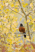 American Robin (Turdus migratorius), male in Aspen tree fallcolors, Grand Teton NP,Wyoming, September 2005