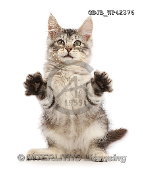 Kim, ANIMALS, REALISTISCHE TIERE, ANIMALES REALISTICOS, fondless, photos,+Silver tabby kitten, Loki, 3 months old, sitting up and grasping with his paws,++++,GBJBWP42376,#a#