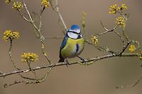 Blaumeise, Blau-Meise, Meise, Meisen, Cyanistes caeruleus, Parus caeruleus, blue tit, La Mésange bleue