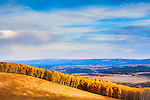 Yellow Aspens against vibrant blue Colorado sky