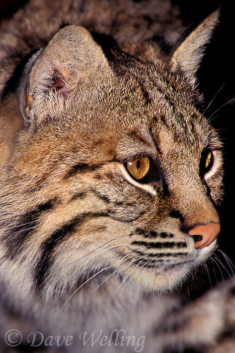 611009039 portrait of a bobcat felis rufus - this animal is a wildlife rescue - species is native to north america below most of canada - samauri