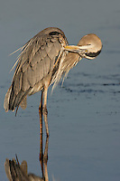 Great Blue Heron - Ardea herodias - Adult breeding