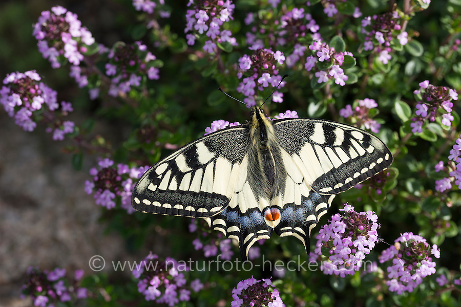 Schwalbenschwanz, Papilio machaon, Old World swallowtail, common yellow swallowtail, swallow-tail, Le Machaon, Grand porte-queue