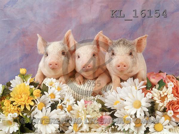 Interlitho, ANIMALS, pigs, photos, 3 pigs(KL16154,#A#) Schweine, cerdos