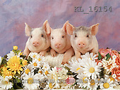 Interlitho, ANIMALS, pigs, photos, 3 pigs(KL16154,#A#) Schweine, cerdos
