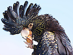 Red-tailed black-cockatoo, Calyptorhynchus banksii