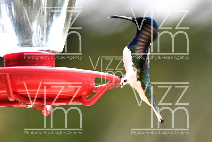 CALI-COLOMBIA, 25-02-2020: Colibri Collarejo (Florisuga  Mellivora), especie de ave presente en el Corregimiento San Antonio, municipio de Cali, en el Departamento del Valle del Cauca. / Hummingbird Collarejo (Florisuga  Mellivora), bird species present in San Antonio Town, in Cali City in Valle del Cauca Department. Photo: VizzorImage / Luis Ramirez / Staff.
