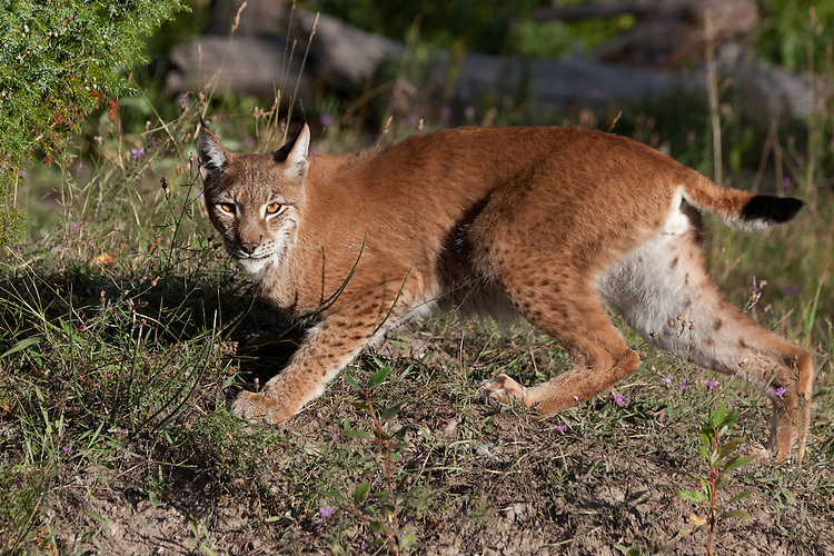 Siberian Lynx pauses while walking along a hill - CA