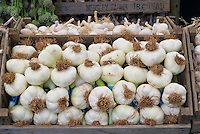 Garlic 'Elephant' (Allium ampeloprasum) ripe vegetable harvested and picked in wooden crate