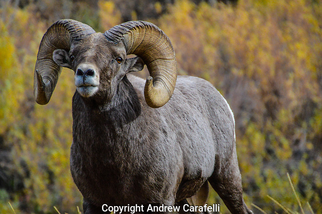A large Big Horn Sheep Ram poses in front of changing Autumn foliage in Waterton Canyon, Colorado.