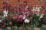 11846-CL Common Stock, Matthiola incana `Early Giant Imperial', hybrid annuals by brick wall, at Bakersfield, CA USA