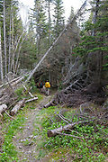 Hikers travel through a blowdown patch on the Asquam Ridge Trail during the summer months. Located in the White Mountains, New Hampshire USA