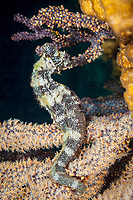 Pacific Seahorse, Hippocampus ingens, La Paz, Baja California Sur, Mexico, Pacific Ocean