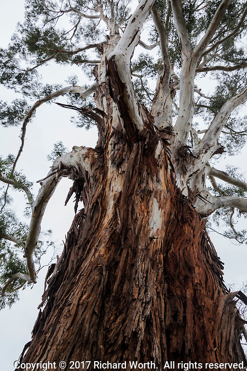 A eucalyptus tree from its base looking up past the peeling bark and up to the bare white limbs and wind-blurred leaves.  Washington Manor Park, San Leandro, California.